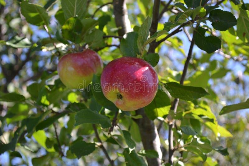 Appel op boom stock afbeelding