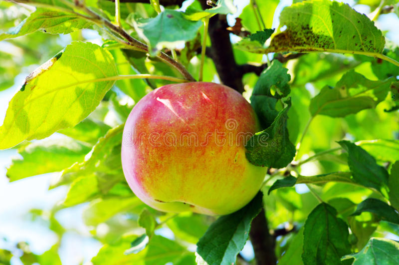 Appel van rood op tak royalty-vrije stock foto