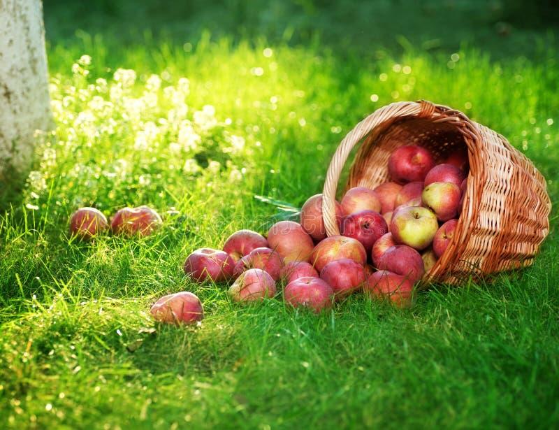 Appelen in boomgaard stock fotografie