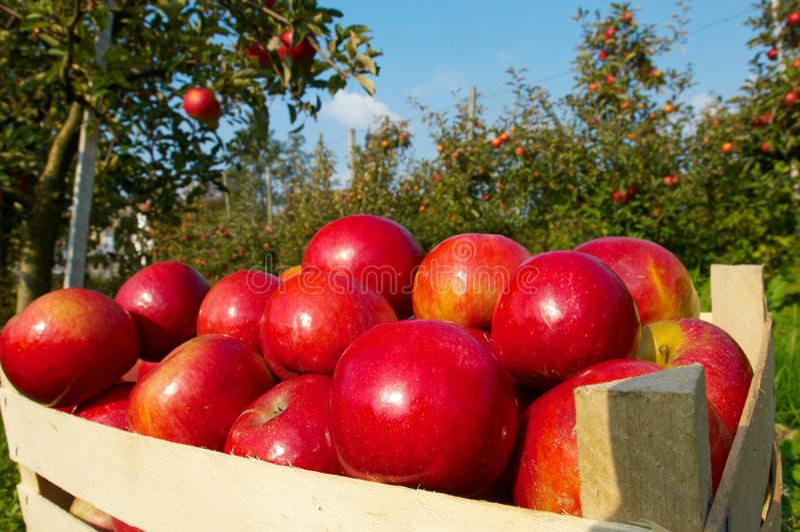 Appelen in boomgaard royalty-vrije stock afbeelding