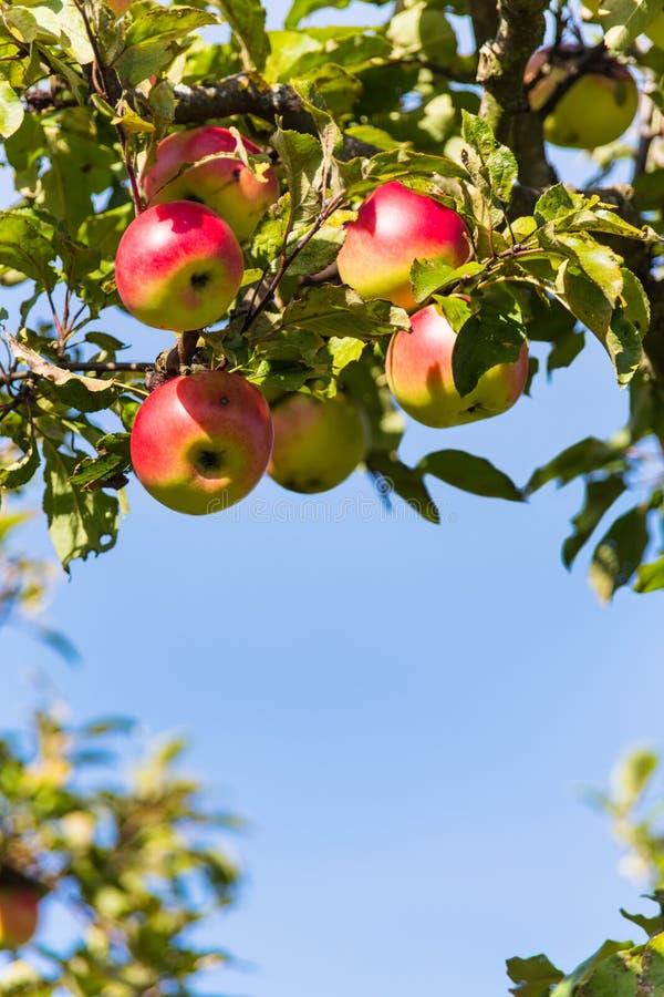 Appelen in de herfst op een appelboom royalty-vrije stock afbeeldingen