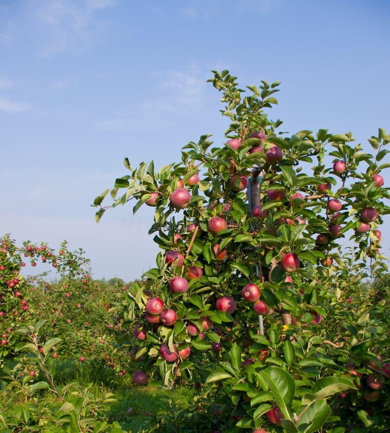 Appelen en de Bomen van de Appel stock afbeelding