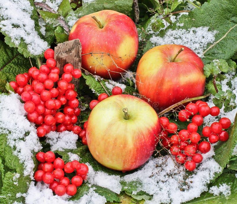 Appelen en viburnum in de sneeuw Rode Appelen en Viburnum in sneeuw en gras dichte omhooggaand Eerste sneeuw De herfst en sneeuw  stock fotografie