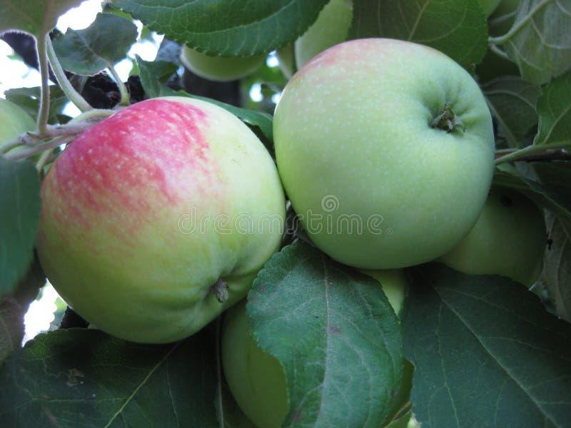 Appelen groen met rode kant, onder de groene bladeren op de boom stock afbeeldingen