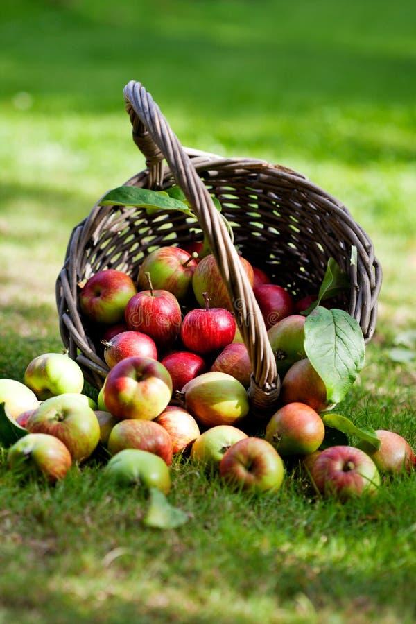 Appelen in mand stock afbeeldingen