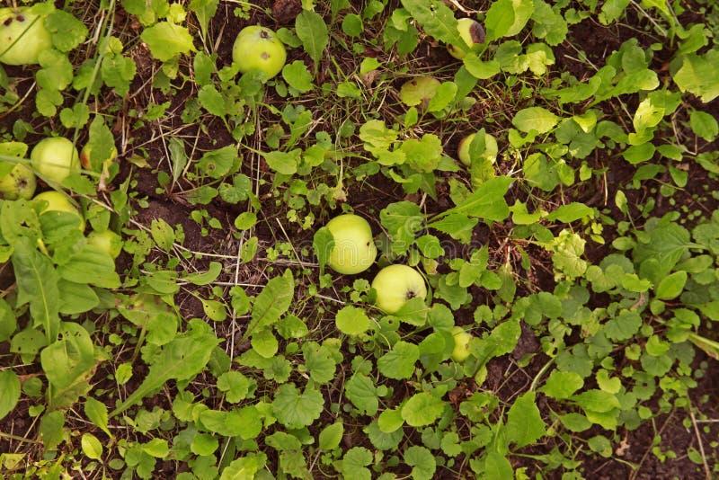 appelen onder een boom in een boomgaard stock afbeelding
