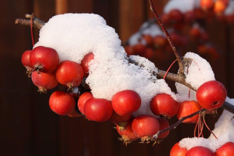 Appelen in sneeuw royalty-vrije stock fotografie