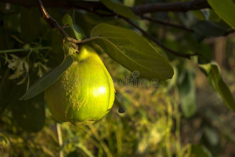Appelenkweepeer het hangen in de boom Een inzameling van fruit op smaak gebrachte appelen royalty-vrije stock afbeelding