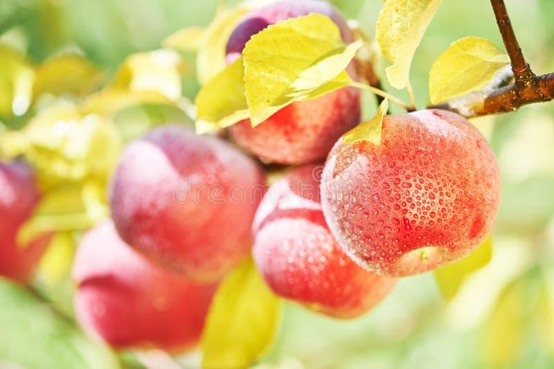 Appelenvruchten in boomgaard stock fotografie