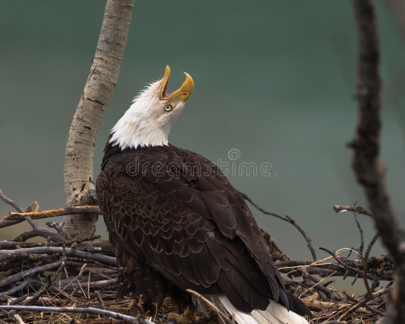 Appels d'aigle chauve à son compagnon images libres de droits