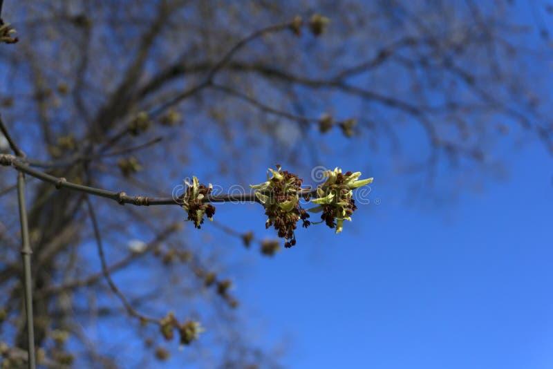 Appena foglie di acero fiorite immagini stock