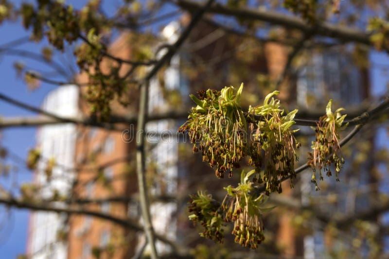 Appena foglie di acero fiorite fotografia stock