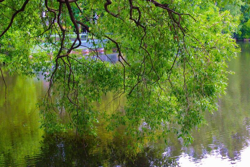 Appendendo sopra i rami di albero dell'acqua nel parco immagini stock libere da diritti