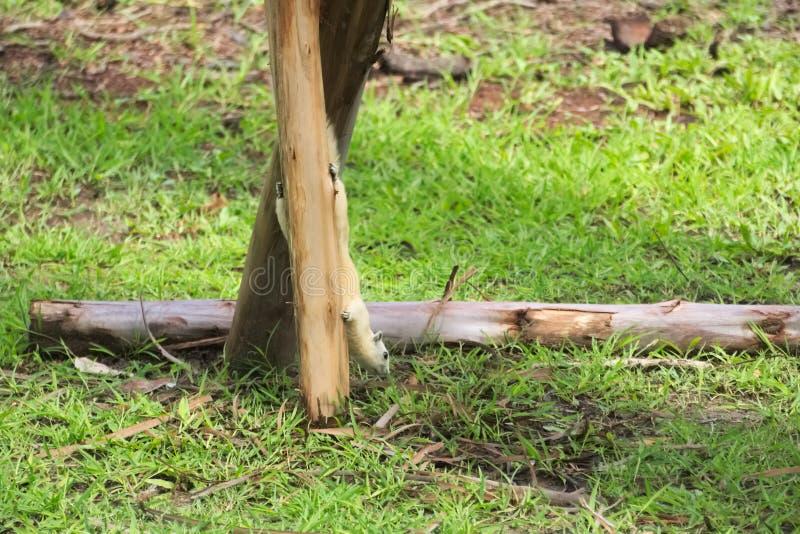 Appendendo sottosopra su un supporto di legno dell'albero, ricerche bianche rare di uno scoiattolo di alimento, molto vicino alla immagine stock libera da diritti