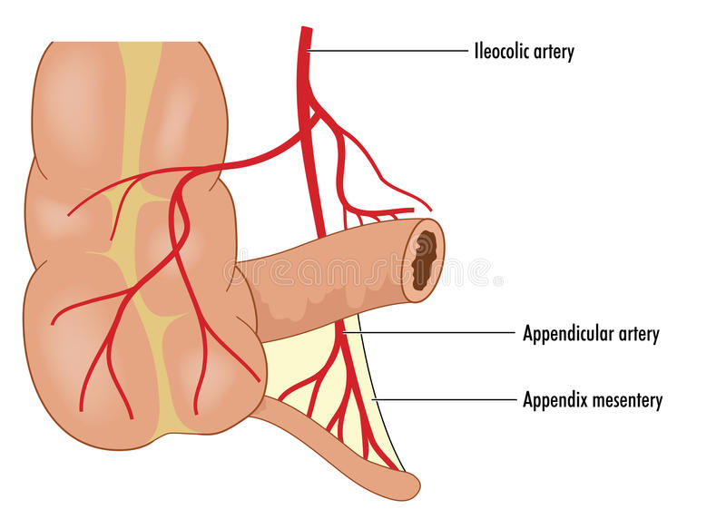 Appendicular krwionośna dostawa royalty ilustracja