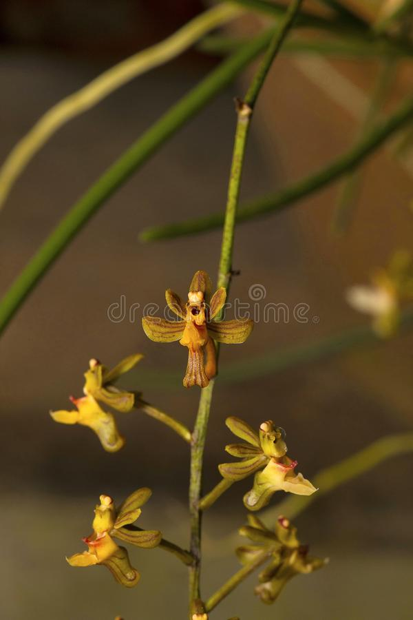 Appendiculatum de Cleisostoma, orchidée Village de Durgapur images stock