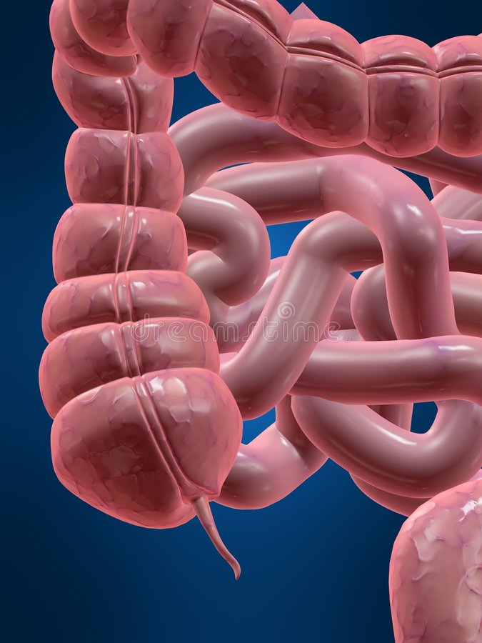 Appendix. 3d rendered anatomy illustration of a human colon with an appendix