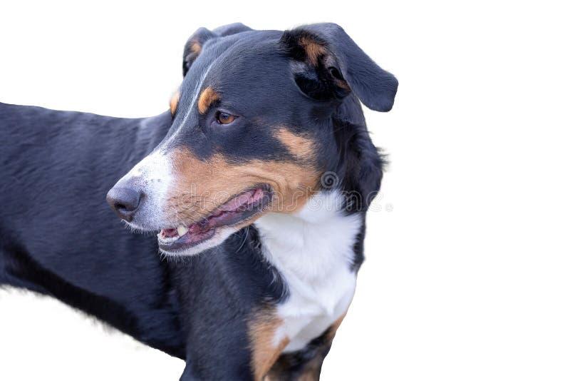 Appenzeller在白色背景隔绝的山狗 免版税库存图片