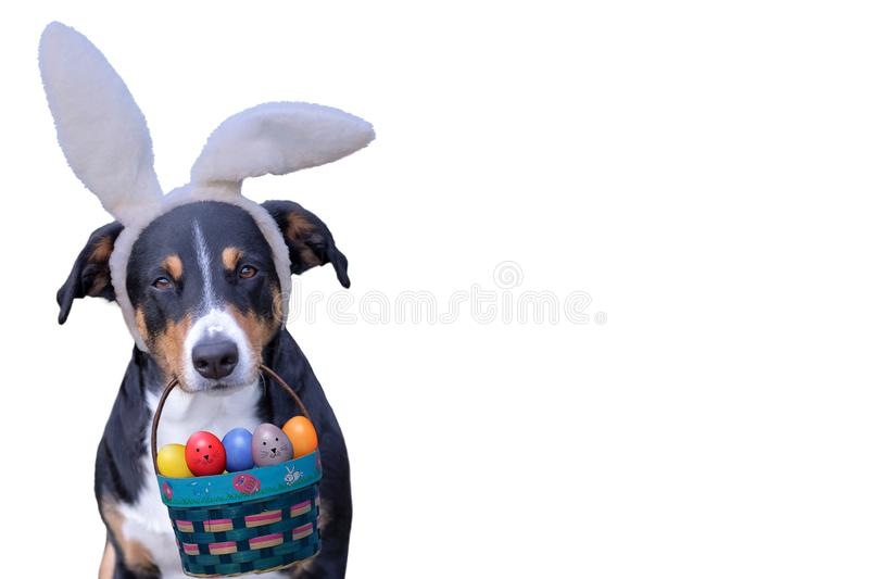 Appenzeller dog wearing Easter bunny ears holding a basket of colorful eggs in his mouth.  royalty free stock photos