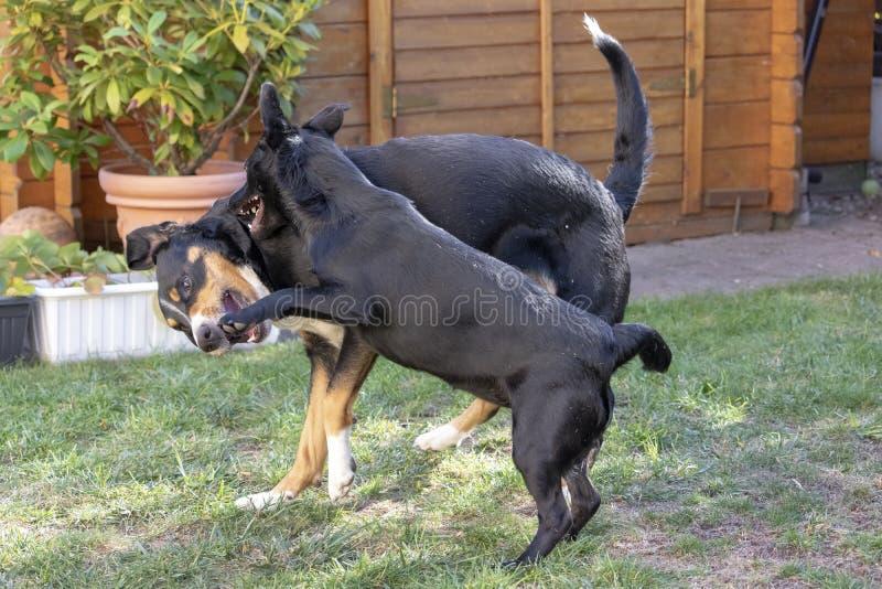 Appenzeller-Gebirgshund und Mischhund stockbild