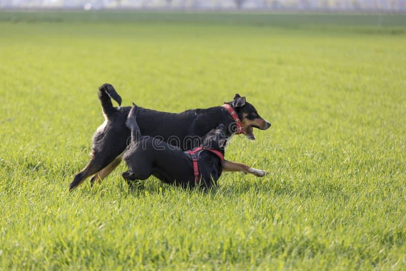 Appenzeller-Gebirgshundezwinger mit einem Labrador-Mischungswelpen drau?en lizenzfreies stockbild