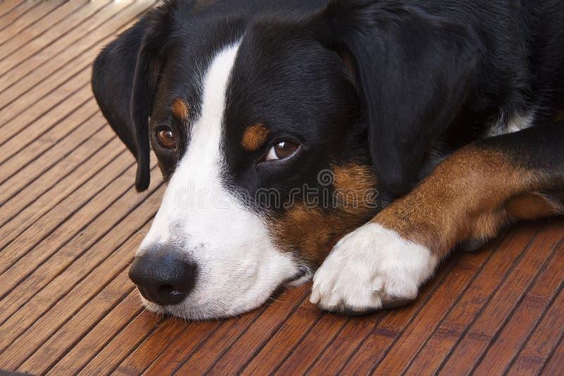 Appenzeller-Hund, der sich hinlegt stockbilder