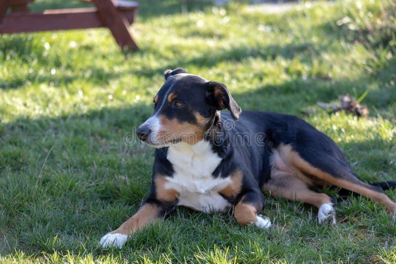 Appenzeller Sennenhund Le chien se situe dans l'herbe Portrait d'un chien de montagne d'Appenzeller images stock