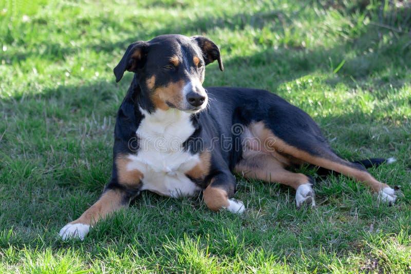 Appenzeller Sennenhund Le chien se situe dans l'herbe Portrait d'un chien de montagne d'Appenzeller photo stock