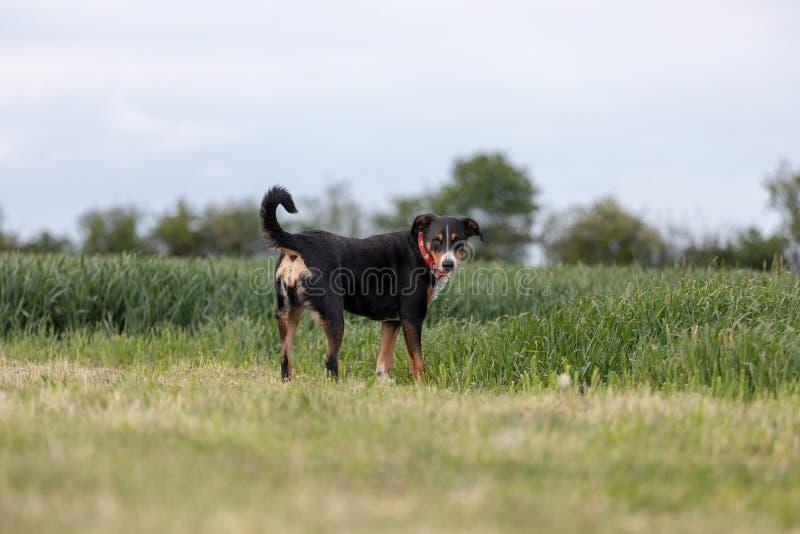 Appenzeller Sennenhund Le chien se tient en parc au printemps Portrait d'un chien de montagne d'Appenzeller photographie stock