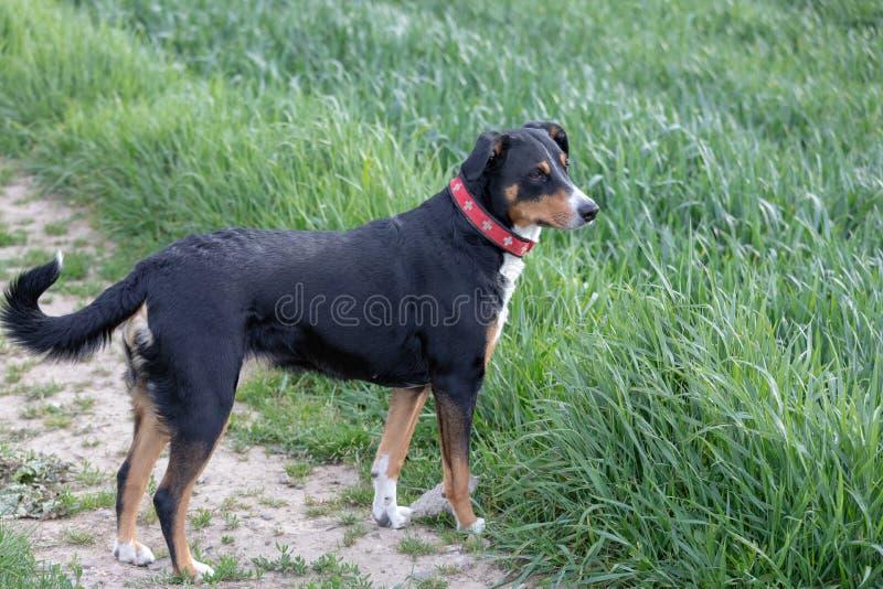 Appenzeller Sennenhund Le chien se tient en parc au printemps Portrait d'un chien de montagne d'Appenzeller photos libres de droits