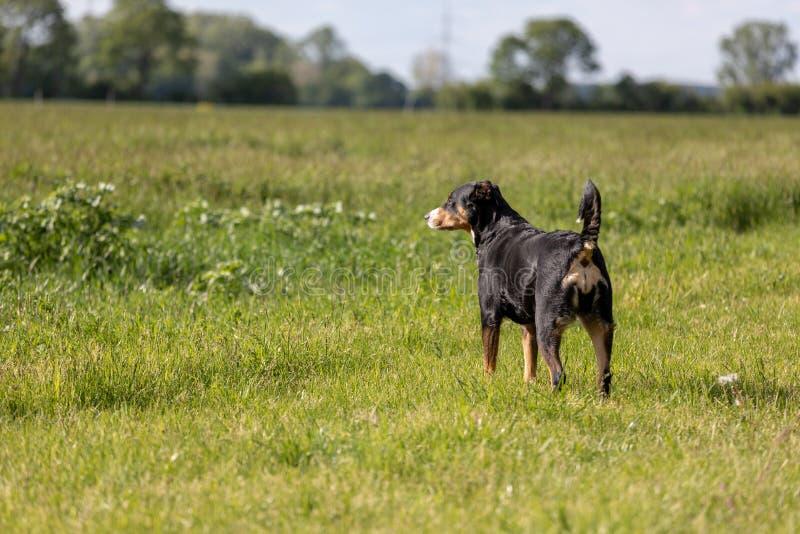 Appenzeller Sennenhund Le chien se tient en parc au printemps Portrait d'un chien de montagne d'Appenzeller images libres de droits