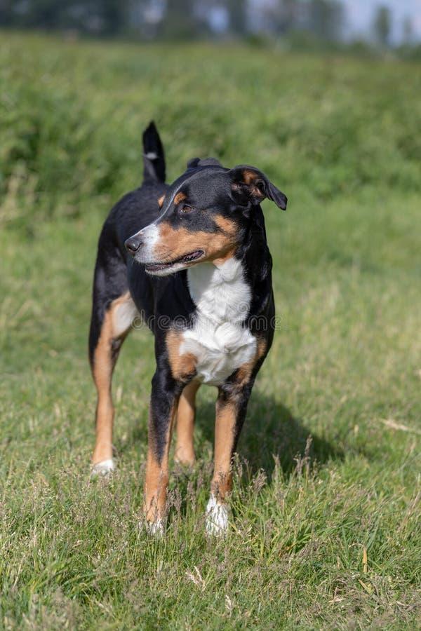 Appenzeller Sennenhund Le chien se tient en parc au printemps Portrait d'un chien de montagne d'Appenzeller image libre de droits