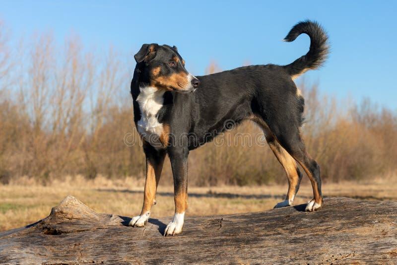 Appenzeller trakenu psa pozycja na drzewnym bagażniku i patrzeć naprzód fotografia stock