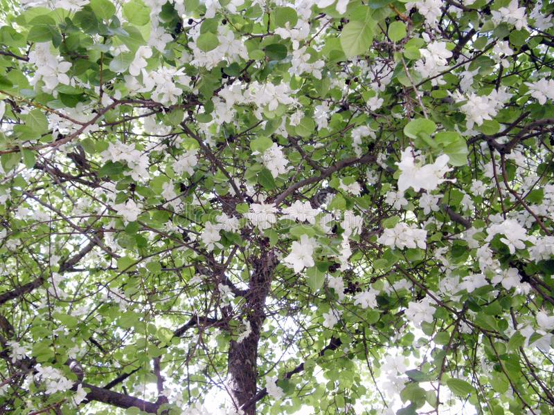Apple-árbol cubierto con las flores y las hojas foto de archivo libre de regalías