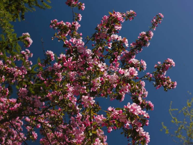 Apple-árbol floreciente imagen de archivo libre de regalías