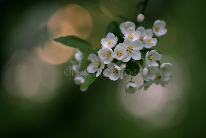 Apple-árboles en la floración imágenes de archivo libres de regalías