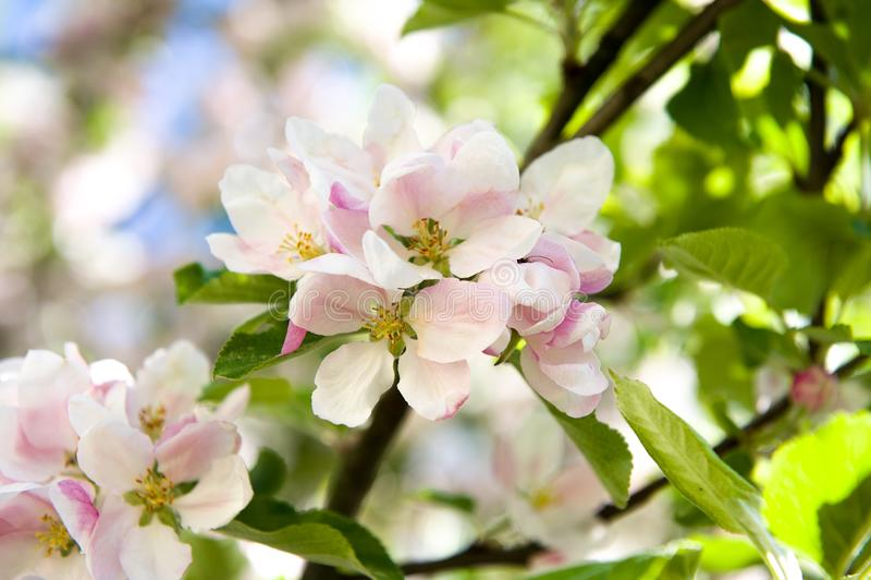 A apple-árvore de florescência fotos de stock