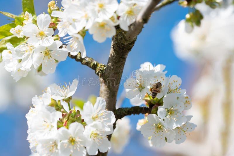 Apple τρία λουλούδια στοκ εικόνες