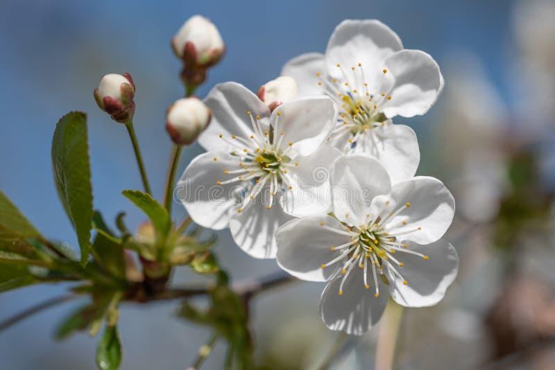Apple τρία λουλούδια στοκ εικόνα με δικαίωμα ελεύθερης χρήσης