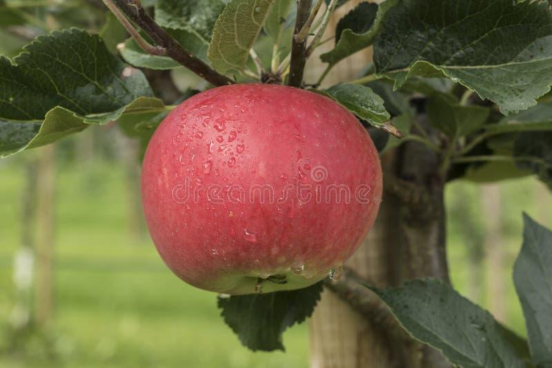 Apple σε ένα δέντρο σε Aurland - τη Νορβηγία στοκ φωτογραφίες με δικαίωμα ελεύθερης χρήσης