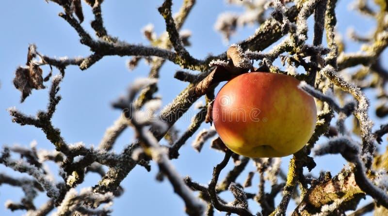 Apple σε ένα γυμνό δέντρο στοκ φωτογραφίες με δικαίωμα ελεύθερης χρήσης