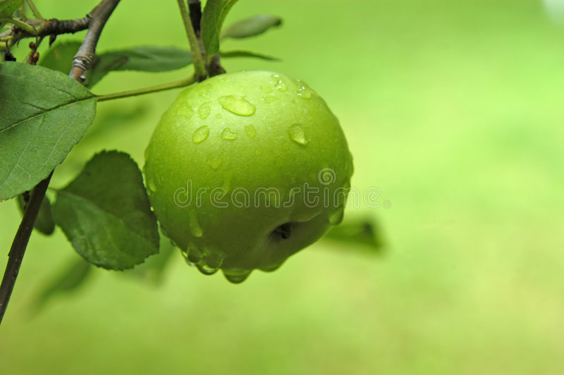 Apple. A green apple after a rain shower. The apple is growing in a Virginia orchard