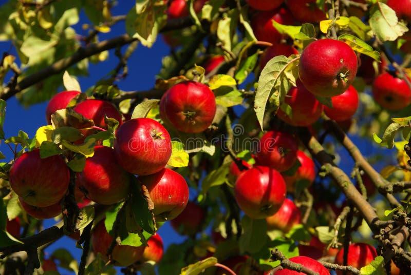Apple 14 images libres de droits