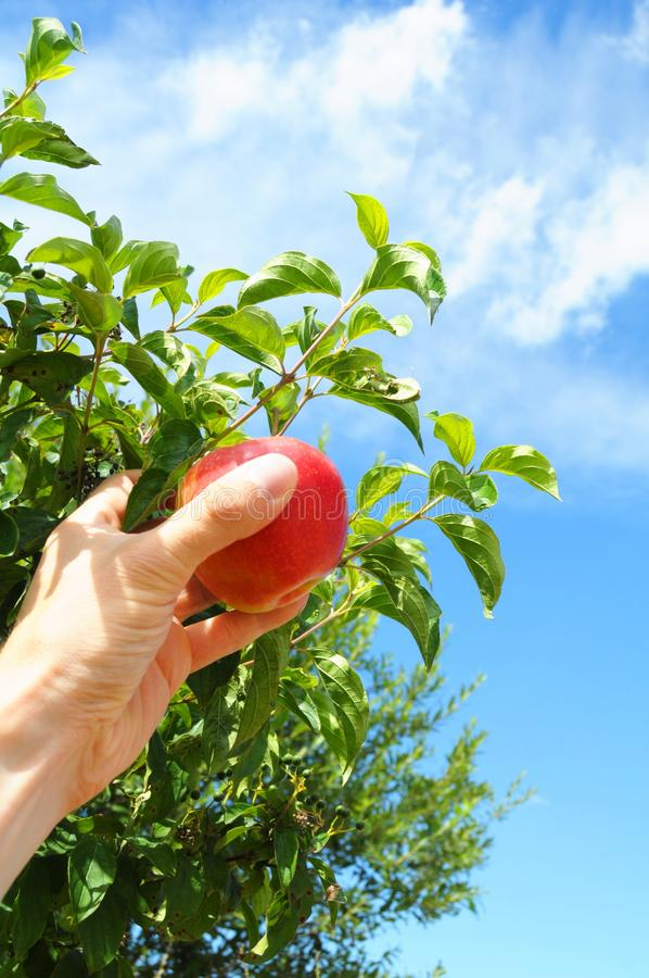 Download Apple stock image. Image of agriculture, harvest, hand - 16476233