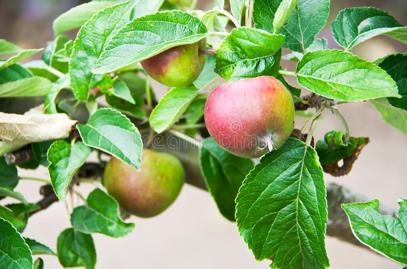 Download Apple stock image. Image of tree, ripe, twig, eatable - 27124885