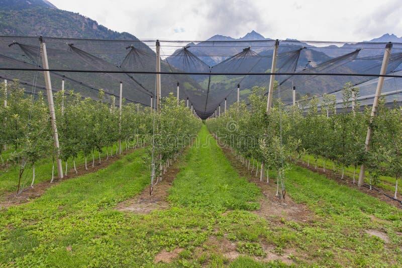 Apple-aanplanting stock fotografie