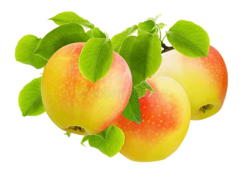 Apple aisl? Manzanas jugosas maduras rojas y amarillas en rama con las hojas verdes aisladas en el fondo blanco como diseño para  imagen de archivo