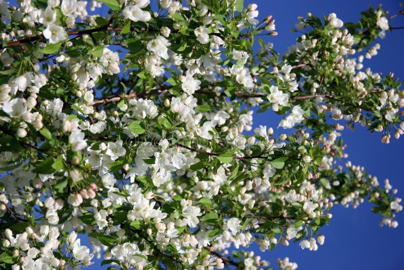 Download Apple-albero immagine stock. Immagine di crescere, cieli - 3128243