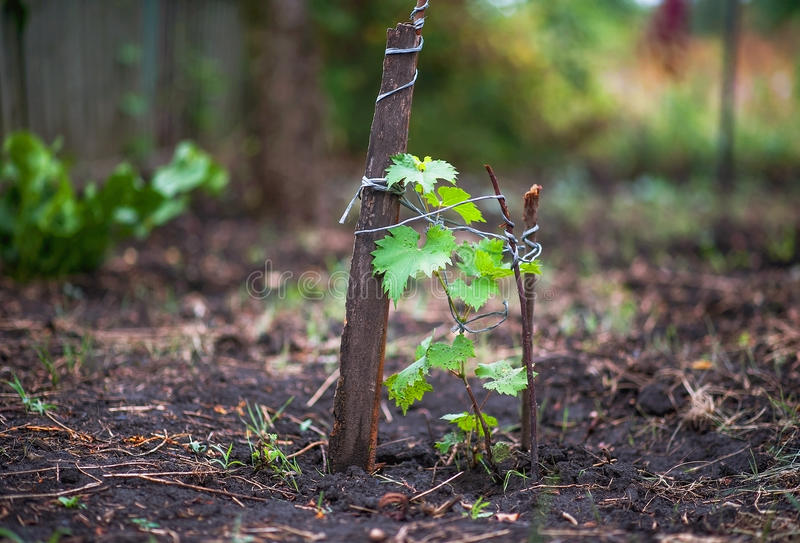 Apple, apples, plums, tomatoes, grapes, strawberries. How to grow garden plants in summer. stock images