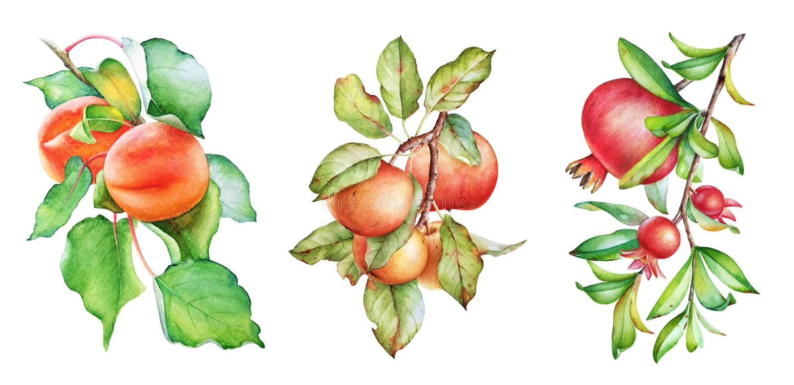 Apple, apricot and pomegranate tree branches. Watercolor illustration stock photo